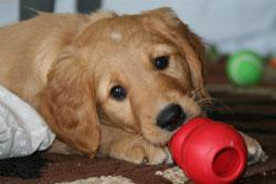 Многие породы собак - любители пожевать. Предложите им игрушки Kong!