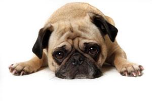 Собака без игрушек